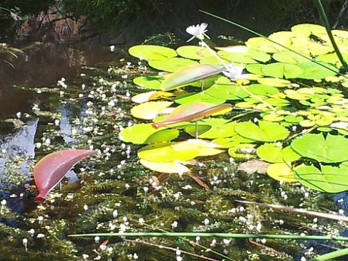 Lily pads on a lake with three leaves which are not real superimposed